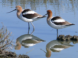 Avocet Pair by Ingrid Taylar