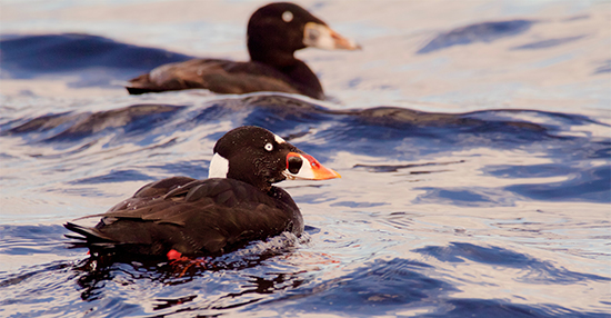 Surf Scoters by Nicole Beaulac Flickr-CC