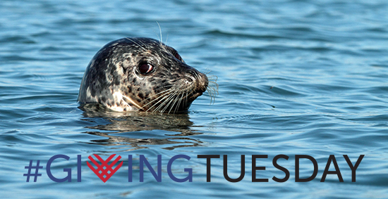 Giving Tuesday Harbor Seal