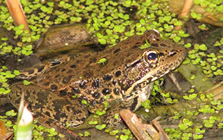 red_legged_frog