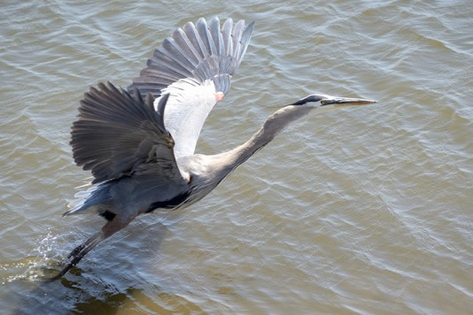 Heron in the South Bay