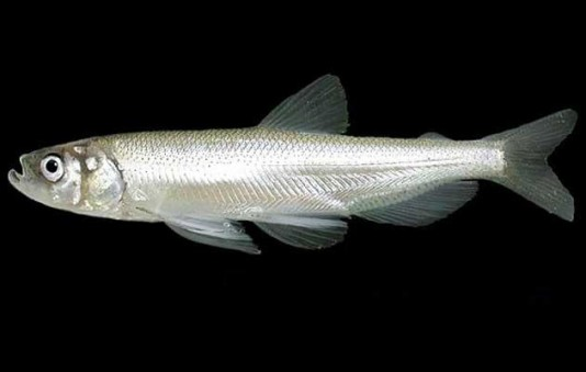 Longfin smelt