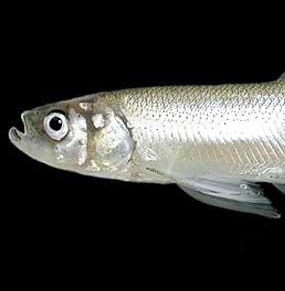 The Last Gasp for the Longfin Smelt